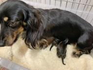 サファリ 11月27日 子犬の出産
