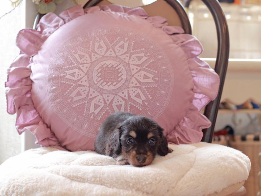 カニンヘン ダックスフンド パセリ & ナイトの子犬 ブラックイエロー(ブラッククリーム) 女の子
