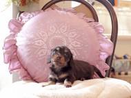 パセリ & ナイトの子犬 ブラックイエロー(ブラッククリーム) 女の子