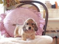 オーロラ & スカッシュの子犬 イエロー(クリーム) 男の子(2)