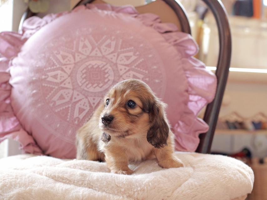 カニンヘン ダックスフンド オーロラ & スカッシュの子犬 イエロー(クリーム) 女の子