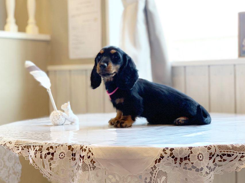 ミニチュアダックスフンド ルチア & ジムの子犬 ブラックタン 女の子
