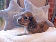ルーシー & ジムダンディの子犬 シェーデットイエロー 女の子