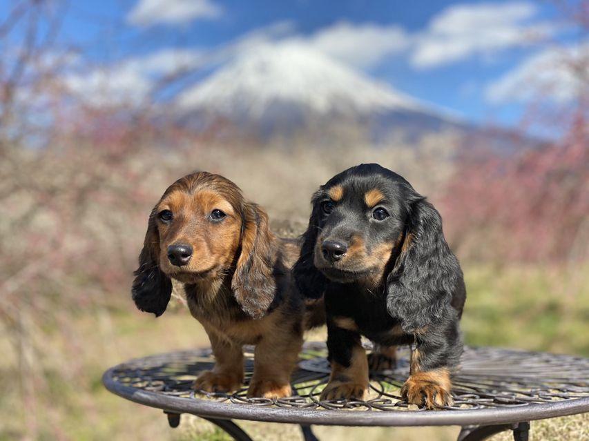 ミニチュアダックスフンド ジャジー & ジムの子犬 ブラックタン 男の子、レッド 男の子(2)