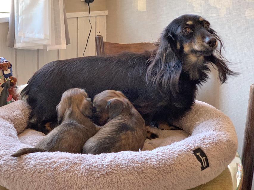 カニンヘン ダックスフンド サファリ 11月29日 子犬の出産