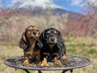 ジャジー & ジムの子犬 ブラックタン 男の子、レッド 男の子(2)