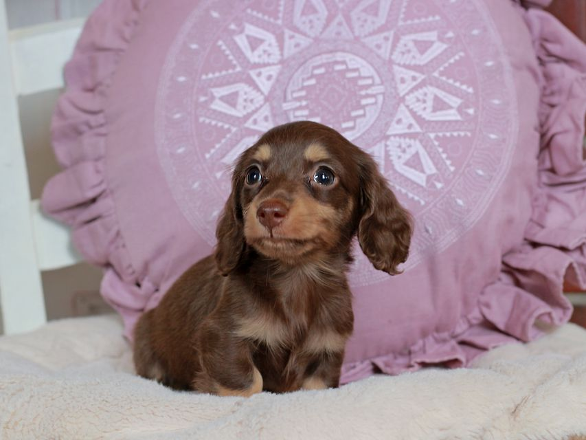 カニンヘン ダックスフンド パセリ & ナイトの子犬 チョコイエロー(チョコクリーム) 男の子