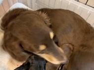 ピノ 2月21日 子犬の出産