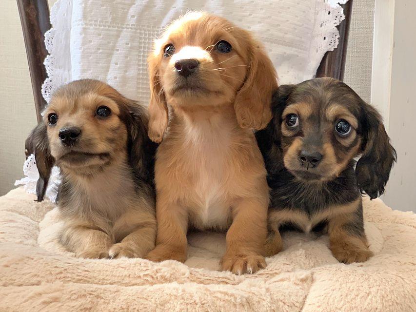 カニンヘンダックスフンド まめ & 竹千代の子犬達