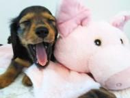 トア & プープーの子犬 レッド 女の子(2)