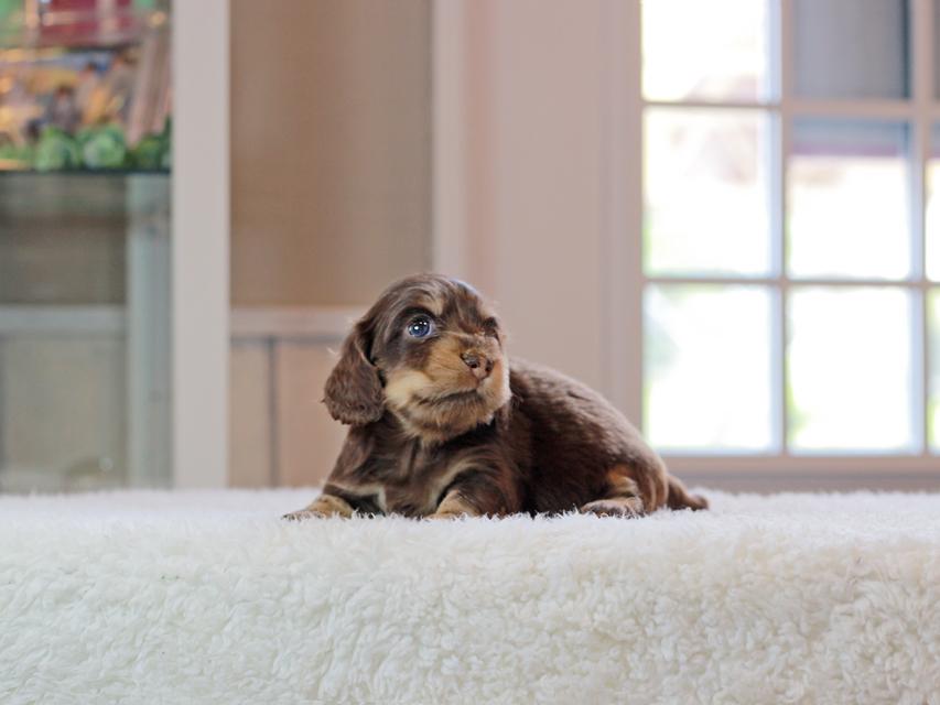 カニンヘン ダックスフンド ラムネ & 朝日の子犬 チョコレートイエロー(チョコレートクリーム) 女の子