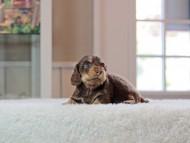 ラムネ & 朝日の子犬 チョコレートイエロー(チョコレートクリーム) 女の子