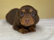 ココcs & ブルースの子犬 チョコタン 女の子(1)