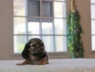 こなゆき & ピーターの子犬 レデッィシュイエロー(レデッィシュクリーム) 女の子