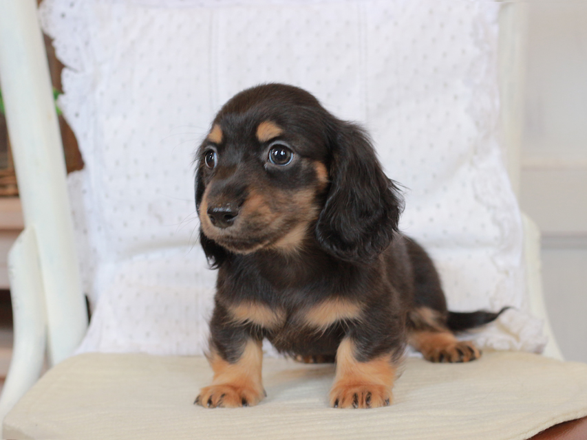 カニンヘン ダックスフンド セーラ & ロックスの子犬 ブラックタン 男の子