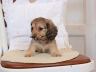 セーラ & ロックスの子犬 イエロー(クリーム) 男の子(2)