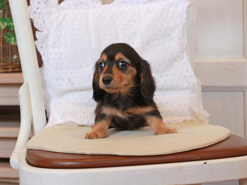 カニンヘン ダックスフンド セーラ & ロックスの子犬 ブラックタン 女の子
