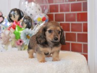 シオン & ロックスの子犬 シェーデットイエロー(シェーデットクリーム) 女の子