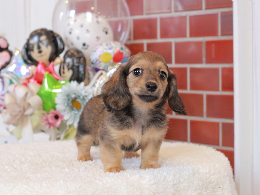 カニンヘン ダックスフンド シオン & ロックスの子犬 シェーデットイエロー(シェーデットクリーム) 女の子