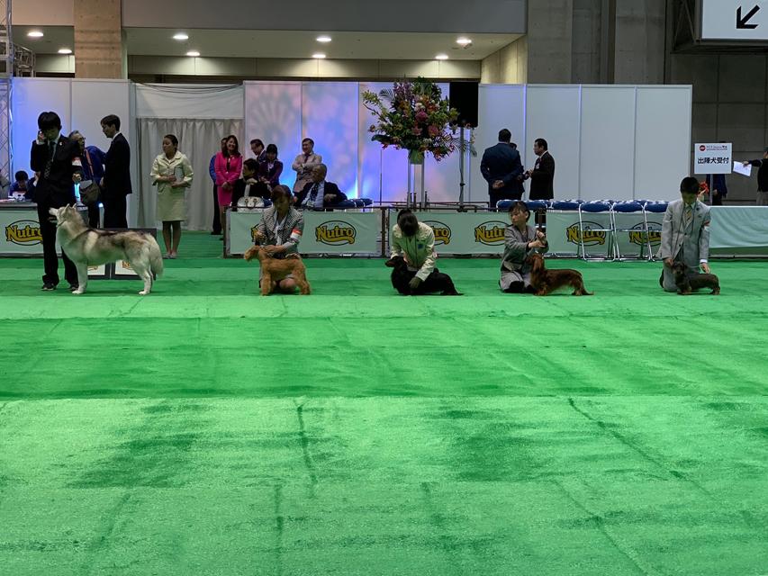 【ドッグショー】ジュニアクラス 石澤百彩奈ちゃん 見事、2席入賞