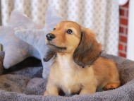 シオン & ロックスの子犬 シェーデットレッド 女の子