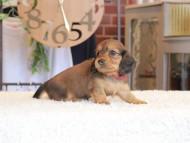 ほたる & ジェットの子犬 レッド 女の子(1)