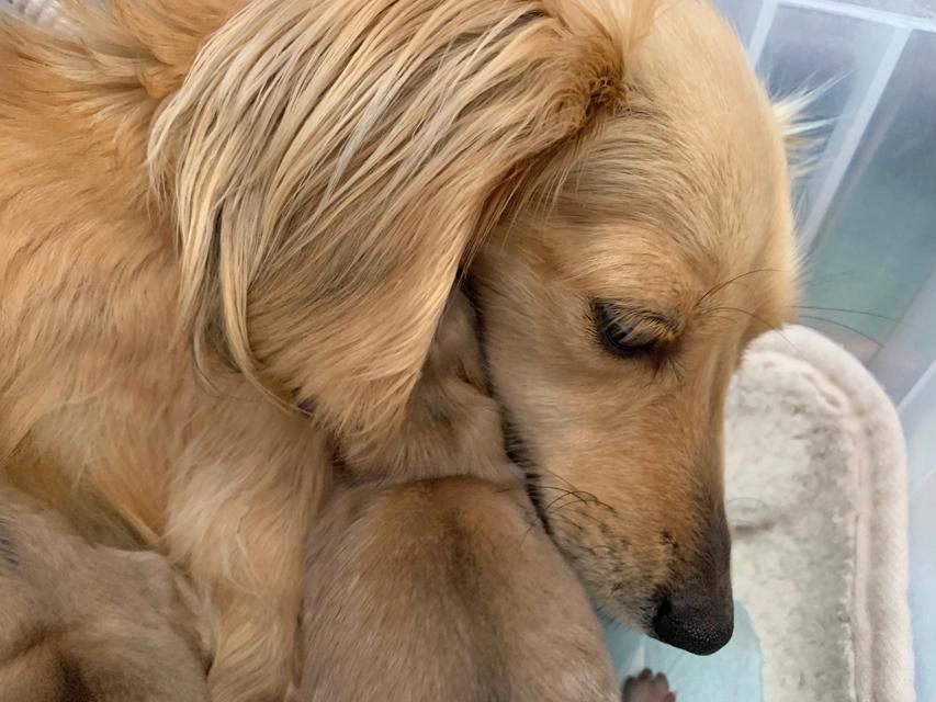 カニンヘン ダックスフンド コットン 3月25日 子犬の出産