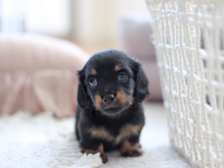 カニンヘン ダックスフンド ピノ & ブルースの子犬 ブラックイエロー(ブラッククリーム)  女の子