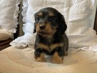 ラムネkk & 朝日の子犬 ブラックタン  女の子