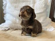 ラムネkk & 朝日の子犬 チョコイエロー(チョコクリーム)  女の子