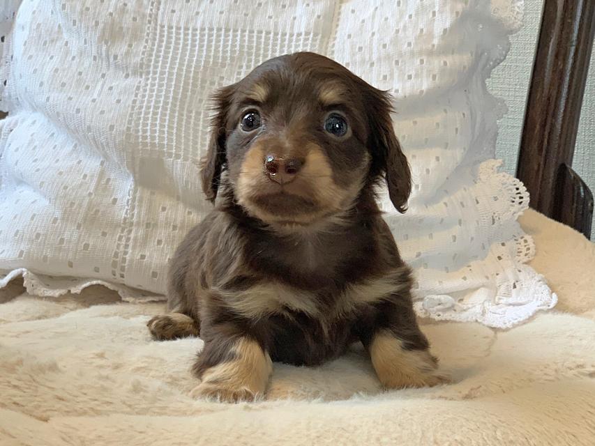 カニンヘン ダックスフンド ラムネkk & 朝日の子犬 チョコイエロー(チョコクリーム)  女の子