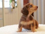ラムネ & 朝日の子犬 チョコレートタン 男の子