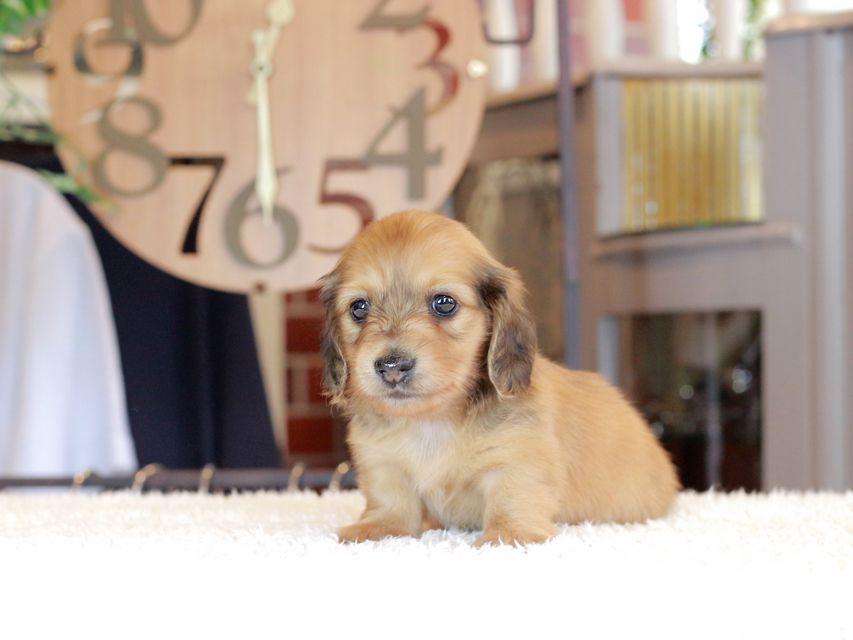 カニンヘン ダックスフンド もなか & たけるの子犬 レデッィシュイエロー(レデッィシュクリーム) 女の子
