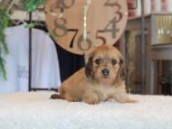 もなか & たけるの子犬 レデッィシュイエロー(レデッィシュクリーム) 女の子