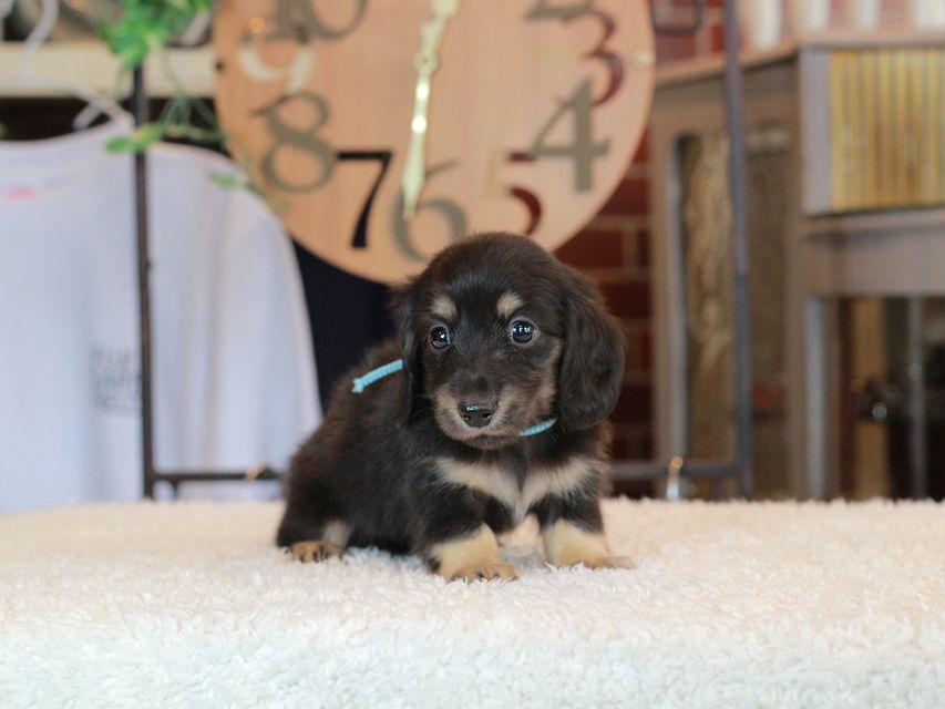 カニンヘン ダックスフンド 小町 & ナイトの子犬 ブラックイエロー 男の子(1)