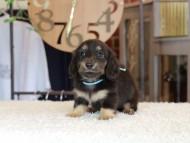 小町 & ナイトの子犬 ブラックイエロー(ブラッククリーム) 男の子(1)