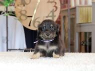 小町 & ナイトの子犬 ブラックイエロー(ブラッククリーム) 男の子(2)