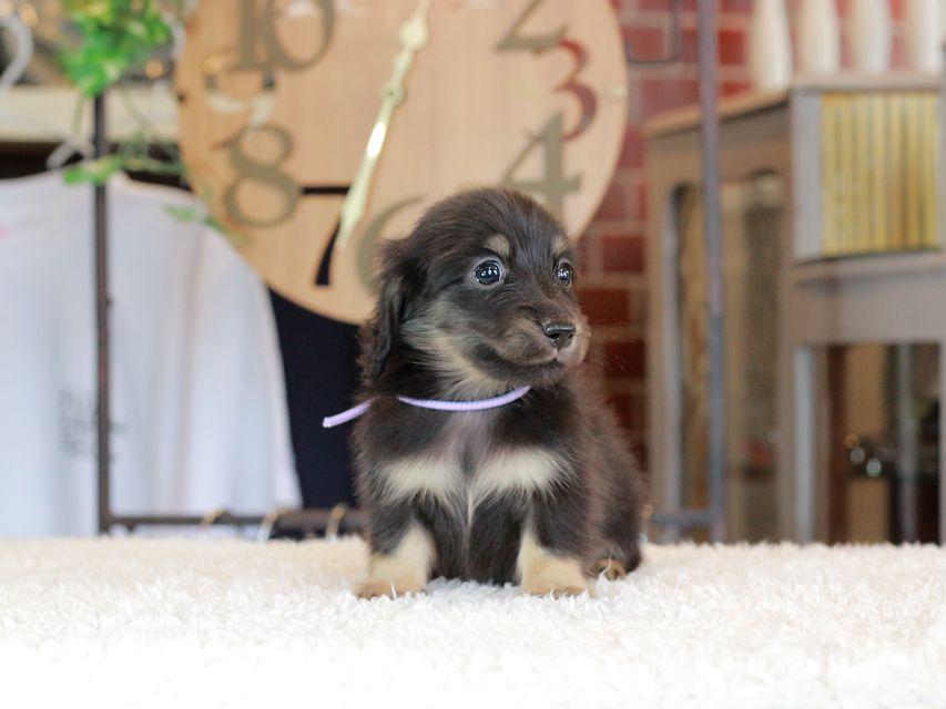 カニンヘン ダックスフンド 小町 & ナイトの子犬 ブラックイエロー 男の子(2)