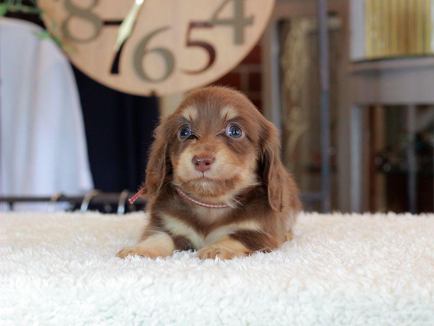 カニンヘン ダックスフンド 小町 & ナイトの子犬 チョコイエロー(チョコクリーム) 男の子
