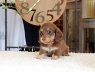 小町 & ナイトの子犬 チョコイエロー(チョコクリーム) 女の子
