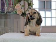 コメロ & ホープCHの子犬 シェーデットイエロー(シェーデットクリーム) 男の子