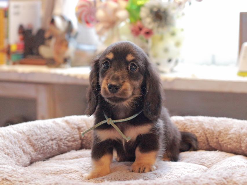 カニンヘン ダックスフンド 小町 & ナイトの子犬 ブラックイエロー(ブラッククリーム) 男の子(1)