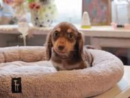 小町 & ナイトの子犬 チョコイエロー(チョコクリーム) 男の子