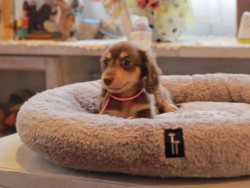 カニンヘン ダックスフンド 小町 & ナイトの子犬 チョコイエロー(チョコクリーム) 女の子
