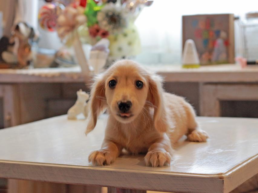 カニンヘン ダックスフンド キュア & ボーイの子犬 ペールイエロー(ピュアクリーム) 男の子