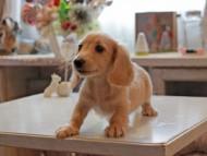 キュア & ボーイの子犬 ペールイエロー(ピュアクリーム) 男の子