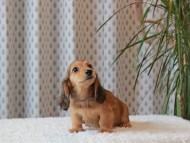 ほたる & ジェットの子犬 レッド 男の子(1)
