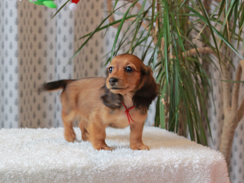 ミニチュア ダックスフンド ほたる & ジェットの子犬 レッド 女の子(1)
