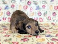 ニコmt & ビルズmtの子犬 シェーデットイエロー(シェーデットクリーム) 女の子 お写真初登場