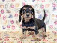 ビーmt & ボンmtの子犬 ブラックイエロー(ブラッククリーム) 女の子 お写真初登場